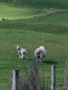 Mama sheep and lamb