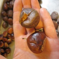 edible buckeyes: the candyman can