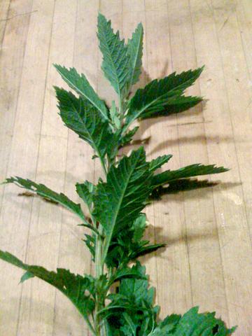 epazote herb