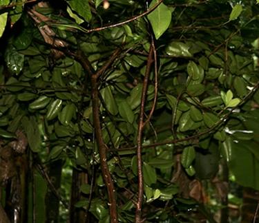 Pimienta dioica tree, or Allspice tree