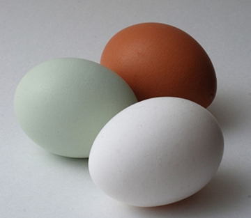 blue-green egg of the Araucana hen, along with typical whitle and brown chicken eggs for comparison