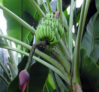 banana plant with big bunch of green bananas and flower bloom