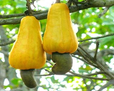 tree bearing yellow cashew fruits or cashew apples