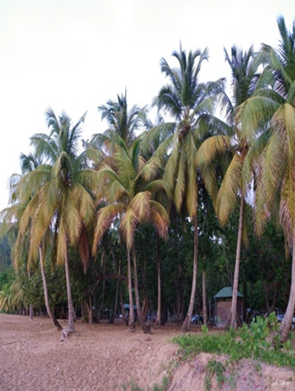 Coconut palms in coconut grove