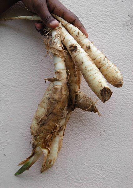 fresh arrowroot tubers (roots)