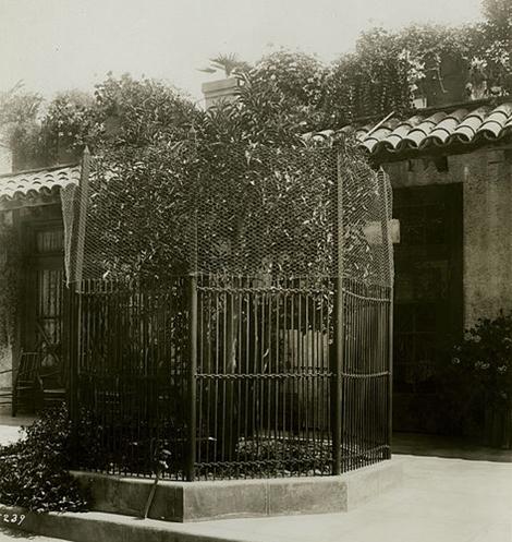 Naval orange tree at Mission Inn, 1910