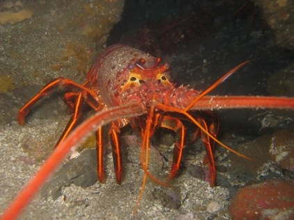 Rock Lobster or Spiny Lobster from California (Panulirus interruptus)