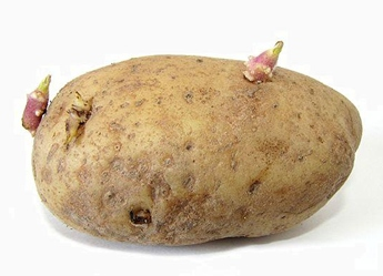 sprouted potato with buds or eyes