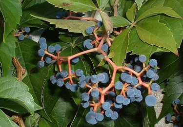 Virginia Creeper berries