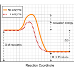 Activation energy and rate of reaction when an enzyme is present.