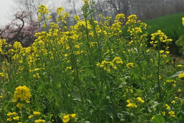 Rapeseed plants or Brassica Napus growing in a field.