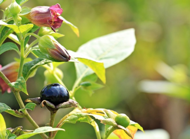 Belladonna used in homeopathic medicine