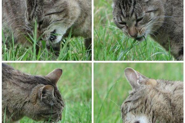 cat eating grass outdoors