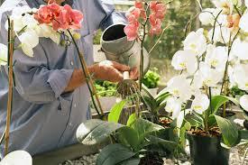 O excesso mata as orquídeas mais que a falta d'água.