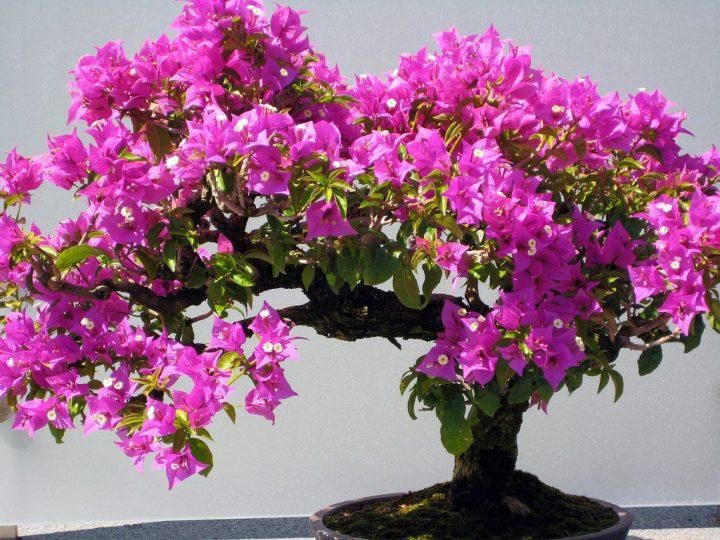 Bonsai de Primavera - Bougainvillea
