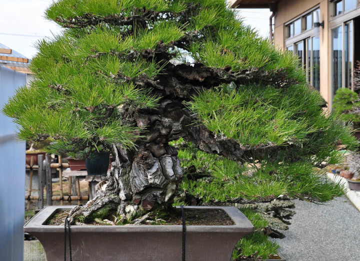 Pinheiro Negro Japonês