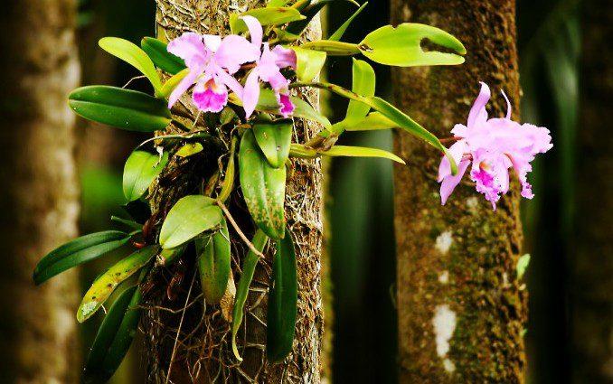 Debaixo das copas de árvores as orquídeas encontram o seu ambiente ideal.