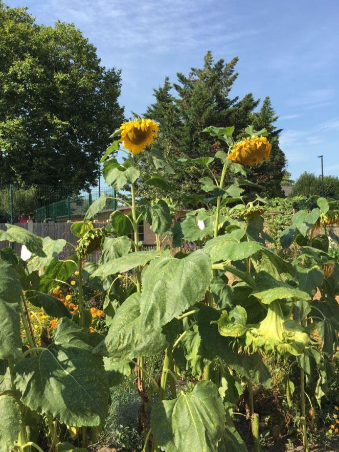 Cultivate-London-Salopian-Kitchen-Garden-August-2016_1035