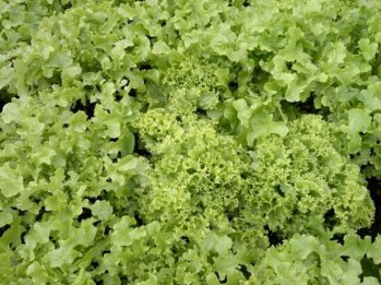 Salad-Leaves-From-Brent-Way1