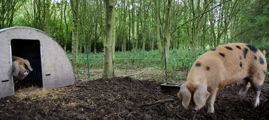 home-pigs-in-woods