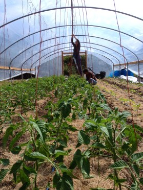 Volunteers trellising tomatoes