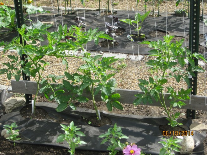 YOUNG TOMATO PLANTS PRUNED AND TRAINED TO A TOMATO TRELLIS