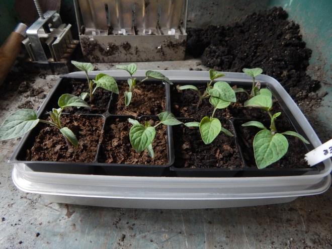 My Glacier tomato seedlings