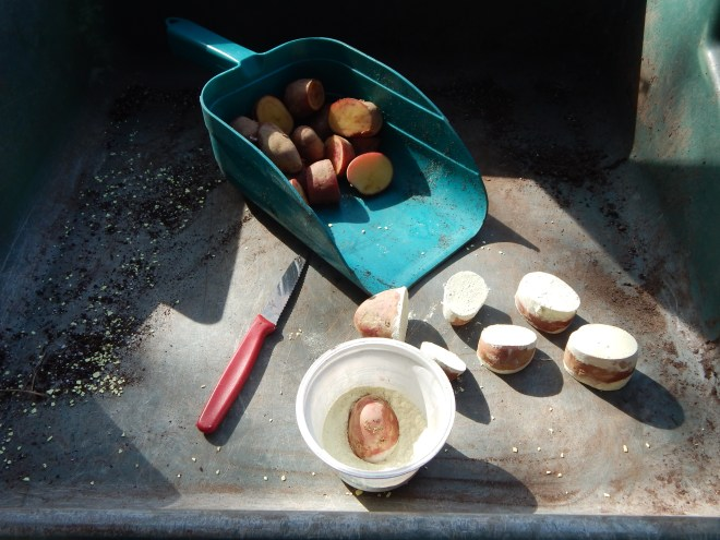 CUTTING SEED POTATOES AND DIPPING THEM IN SULFUR