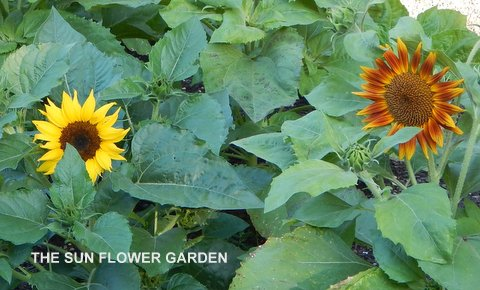 Garden Calendar – 4th Week of July