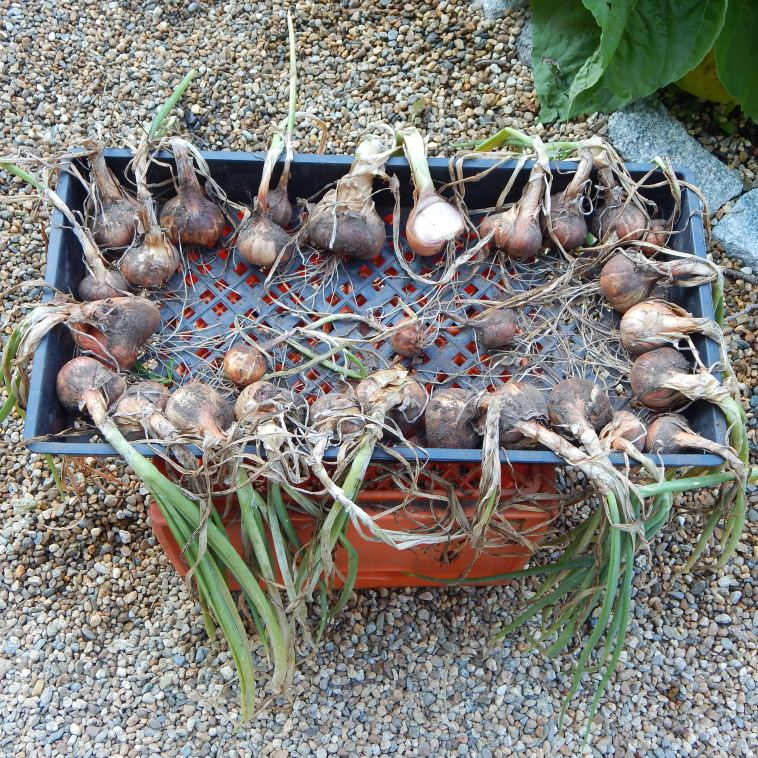 SHALLOTS CURING IN THE SUN