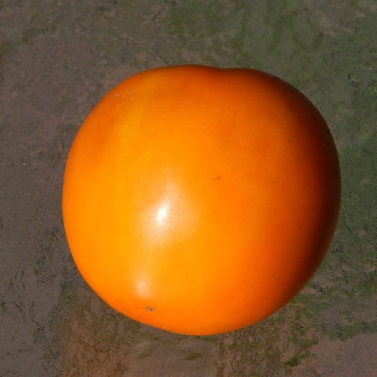 AMISH GOLD TOMATO