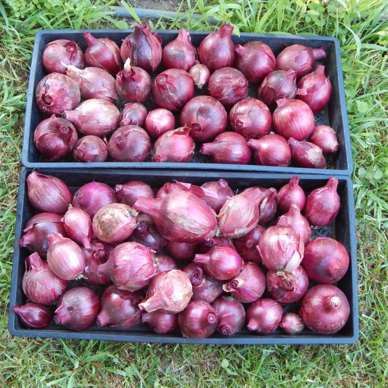 HARVESTED RED ZEPPELIN ONIONS