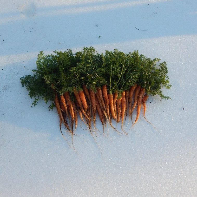 CARROTS ON SNOW
