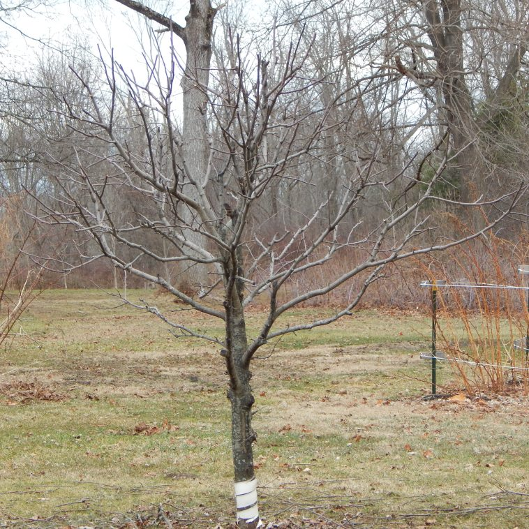 APPLE TREE AFTER PRUNING IN FEBRUARY
