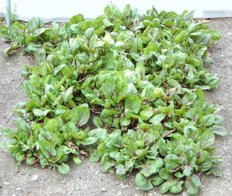 """OUR 2' X 4' """"RED KITTEN"""" SPINACH PATCH"""