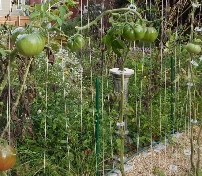 MY NEARLY NAKED TOMATO PLANTS