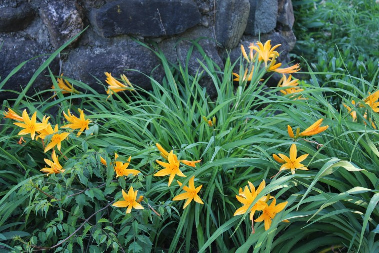 CURRY COLORED LILIES