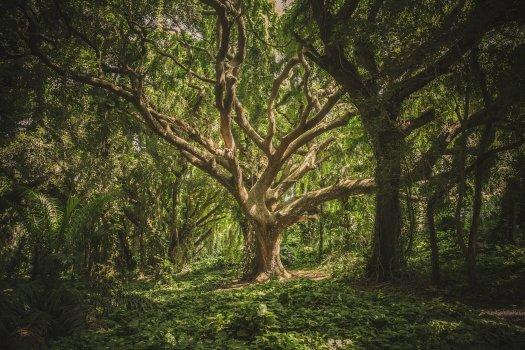 le plus grand et le plus vielle arbre à un lien puissant avec le mycélium des champignons