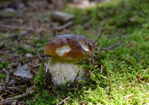 le carpophore est la parti émergé du mycélium souterrain !