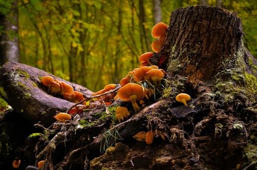 Des champignons dégradent une souches d'arbres
