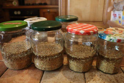 Le mélange de mycélium sur grains doit contenir environ 50% de graines et 50% d'eau.