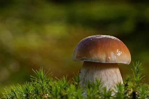 Le bolet est un champignon mycorhizien