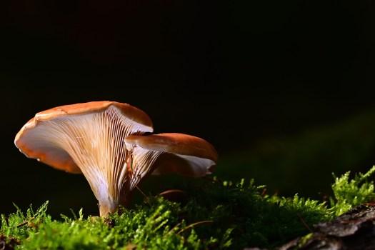La pleurote est un champignon facile à faire pousser !