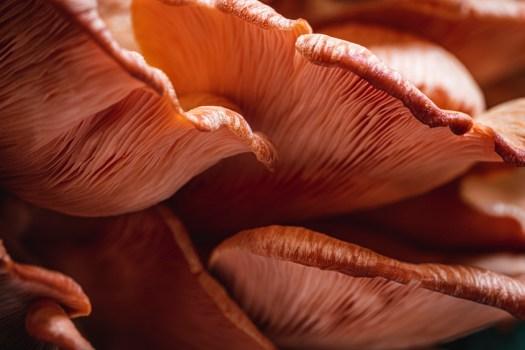 La pleurote rose à une couleur trés intéréssante