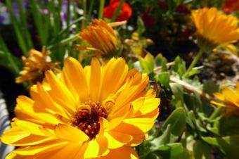 7 Flores comestíveis fáceis de cultivar em casa!