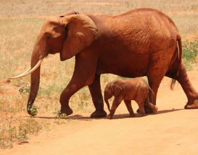 Elephants could be close to extinction in a matter of years