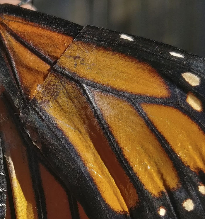 monarch butterfly.Cultura Inquieta 6
