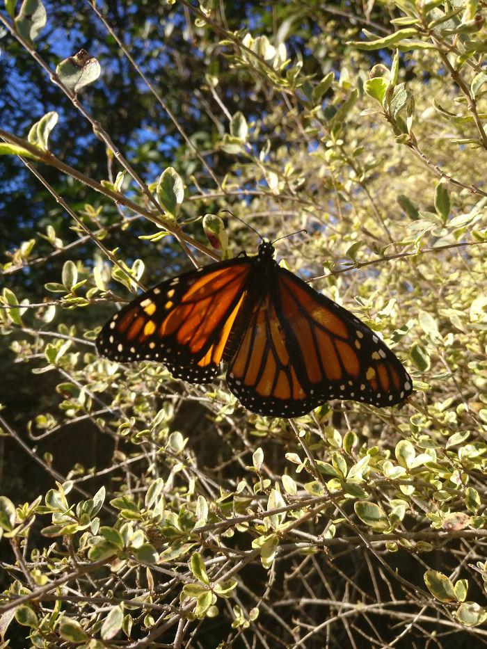 monarch butterfly.Cultura Inquieta 7
