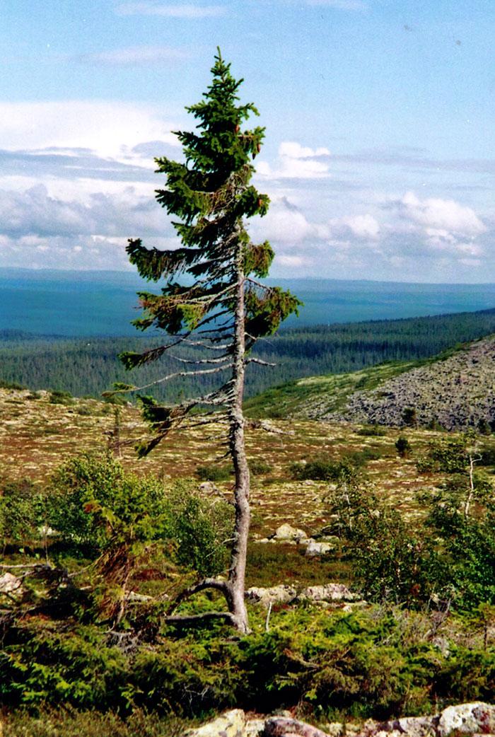 Norwegian tree Fulufjallet Mountain Sweden