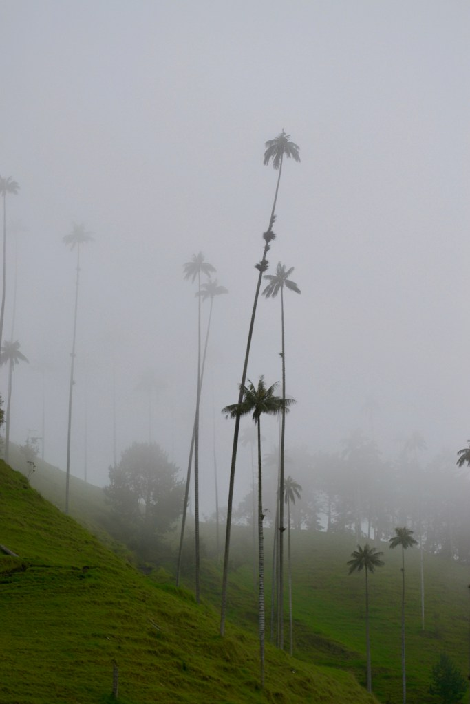 Tallest Palm Trees in the World: Valle De Cocora, Salento, Colombia